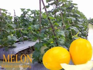 Melon unggulan